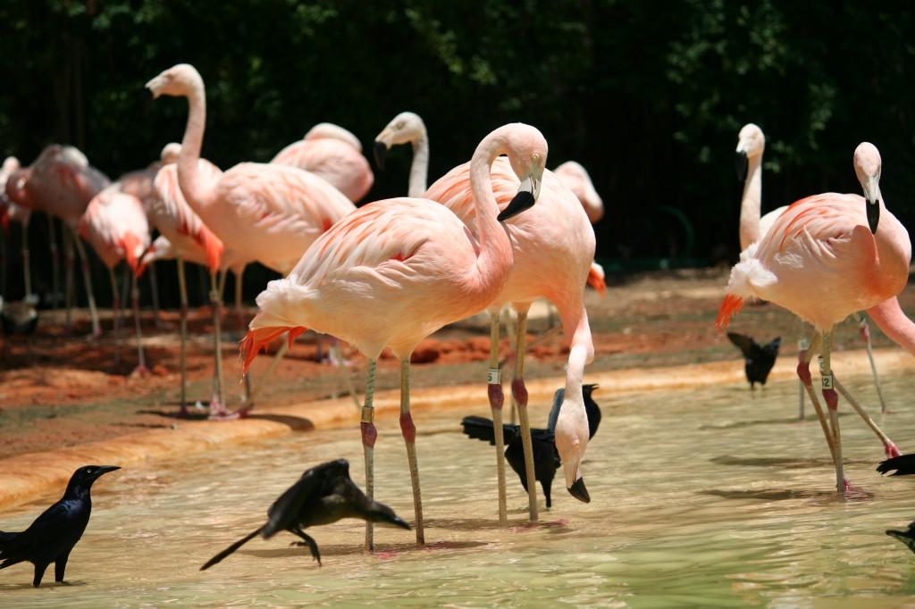 Розовые фламинго в заповеднике США - фото