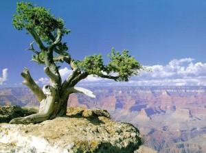 Дерево на краю каньона в Аризоне