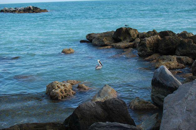 Пеликан_на_острове_Ки_Вест_Майами