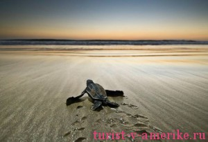 Морская черепаха на пляже Коста-Рики