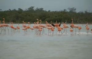 Rio Lagartos_розовые_фламинго