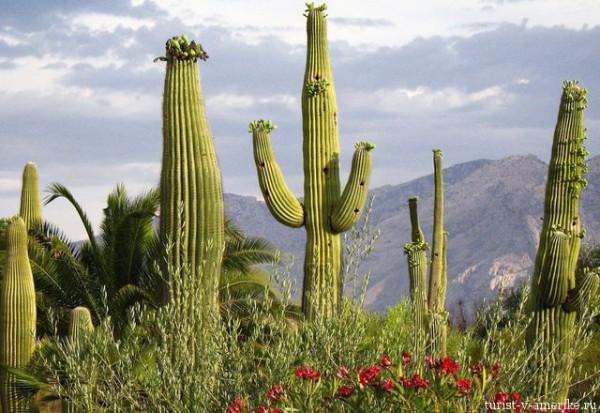 Мексиканские_кактусы