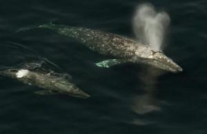 Калифорнийские_киты