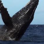 Серые калифорнийские киты