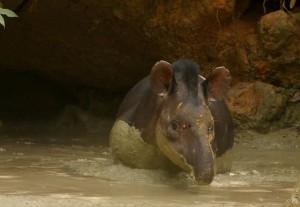Центральноамериканский тапир